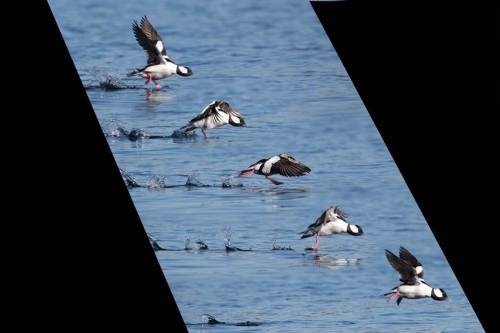 Buffleheads in action